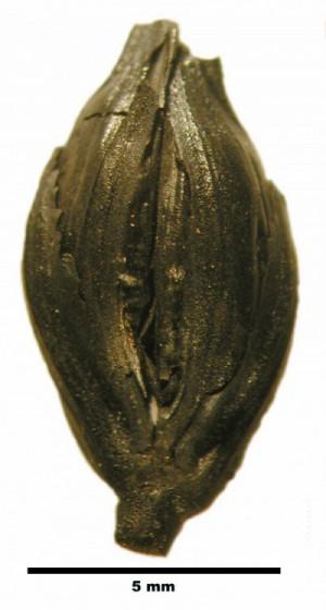 Fig. 1 : épillet carbonisé de blé amidonnier, Triticum dicoccum, daté du Bronze ancien (IIIe millénaire av. J.-C.) (Tell Arqa, Liban) (Cliché L. Herveux).