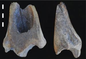 Fig. 1. Outil sur épiphyse distale de tibia de bœuf (niveau 4). Échelle : 5 cm.