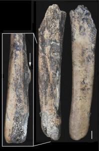 Fig. 3. Manche d'outil sur scapula de grand ruminant. L'os a été rétréci pour séparer le manche de la partie active (niveau 4). Echelle : 1 cm