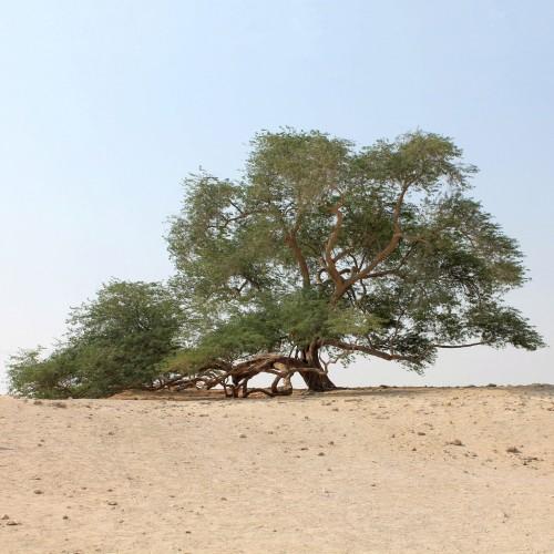Figure 2. L'Arbre de Vie, phénomène naturel de la zone désertique de Bahreïn. (cliché: P. Lombard)