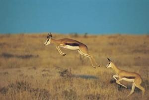 A_Springbok