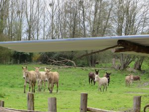 Les ânes dans le pré (© M. Spruyt)