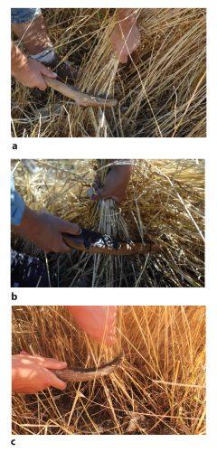 Fig. 5 : Moisson de céréales domestiques (T. Monococcum) en coupe basse, à environ 15 centimètres au-dessus du sol, à l'aide de faucilles plus ou moins courbes à inserts obliques (a) ou parallèles (b et c). Les armatures sont en silex. Clichés : N. Cayol et F. Pichon.
